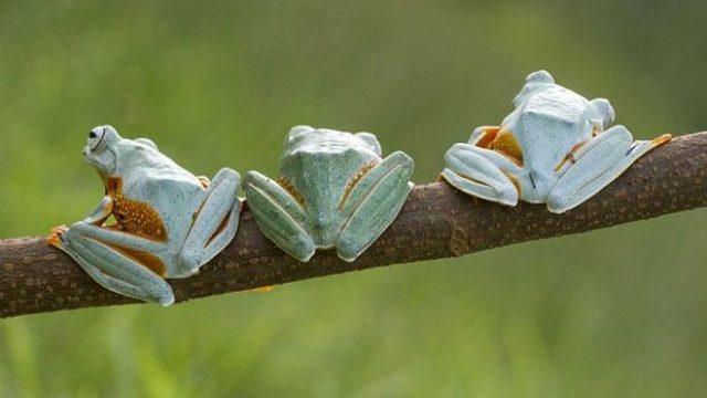 Katak Kalimantan Terancam Punah, Begini Penjelasan Ahli